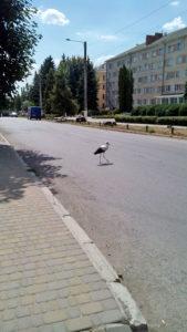 Аист переходит дорогу